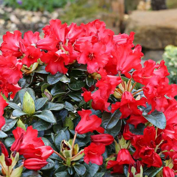 Zwerg-Rhododendron-repens-Bengal-01