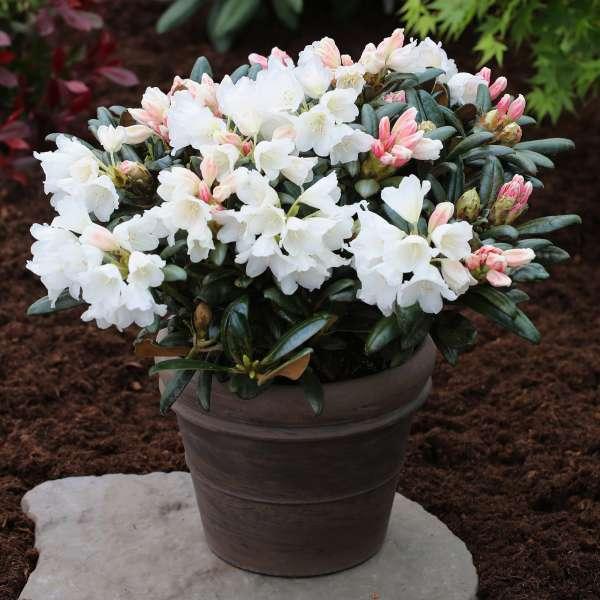 Rhododendron-INKARHO-Koichiro-Wada-02