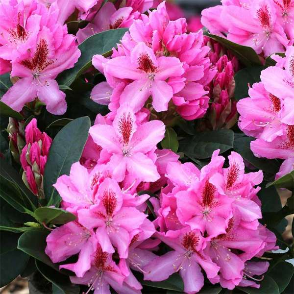 Rhododendron Furnivall´s Daughter