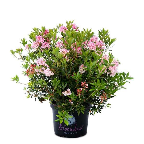 Rhododendron Bloombux® pink