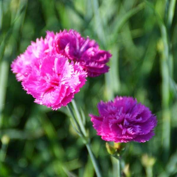Feder-Nelke-Dianthus-plumarius-Pretty-Becky-01