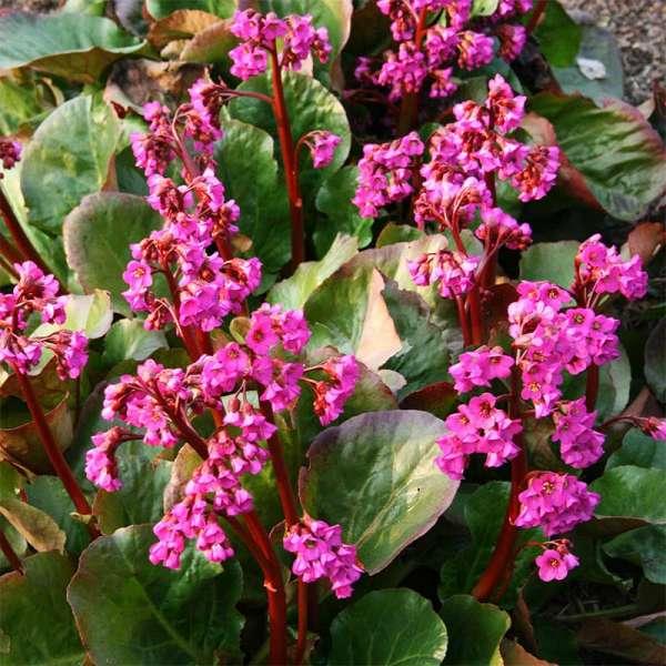 Garten-Bergenie Eroica