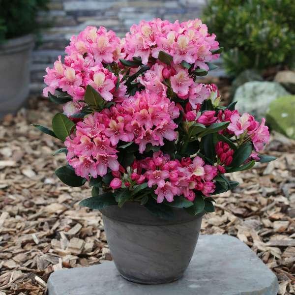 Rhododendron-Hybride-Brasilia-01
