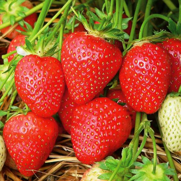 Erdbeer-Fragaria-Malwina-01