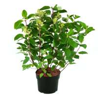 Rispenhortensie-Hydrangea-paniculata-Magical-Fire-C5-50-60-2