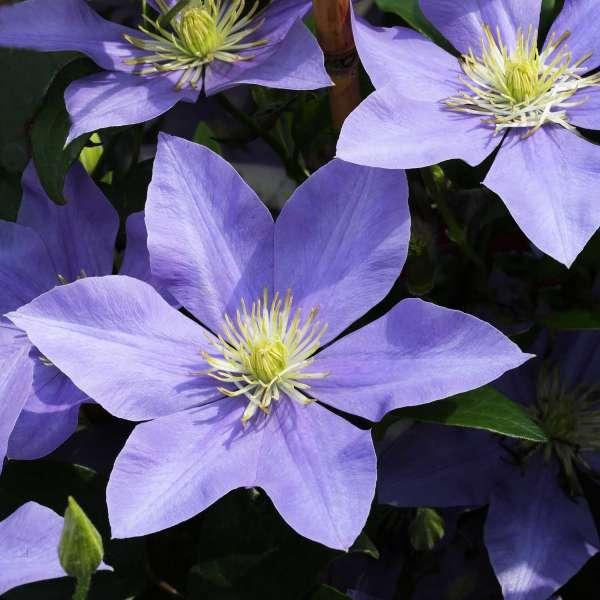 Waldrebe Clematis Fujimusume Blüten 01