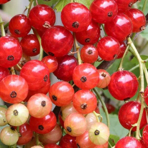 Ribes-rubrum-Stanza-D1