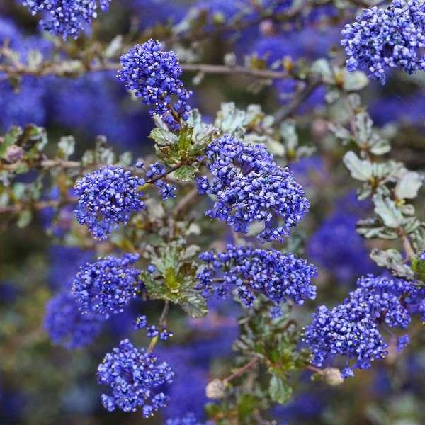 Säckelblume Blue Sapphire Blüten