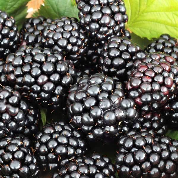 Brombeere Lowberry Little Black Prince