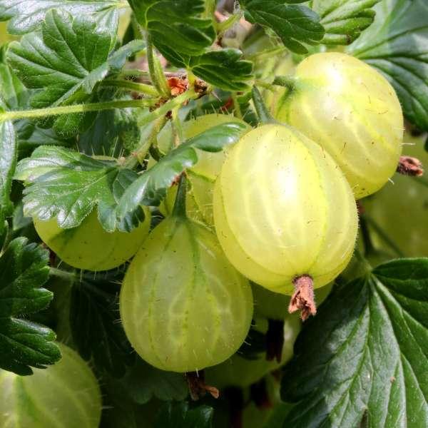 Grüne Stachelbeere Ribes uva-crispa Mucurines