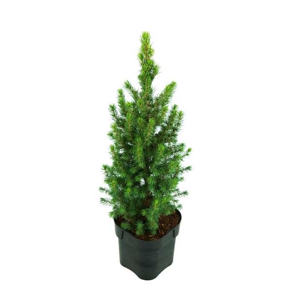 Zuckerhutfichte-Picea-glauca-Rainbows-End-C2