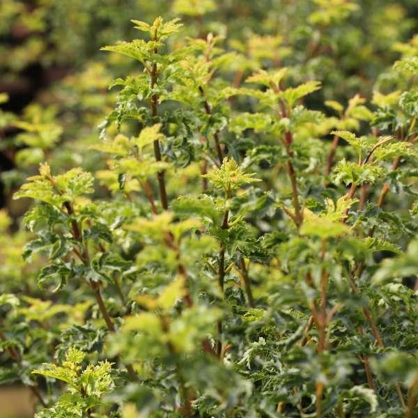 Fächerahorn-Acer-palmatum-Shishigashira-01