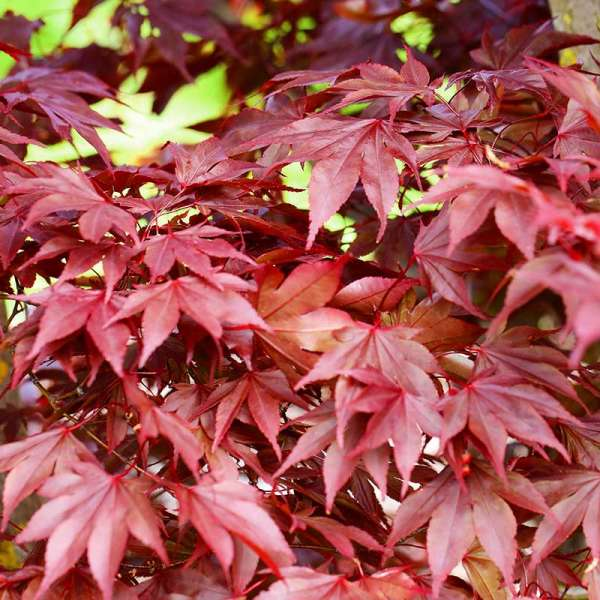 Japanischer Fächer-Ahorn Fireglow
