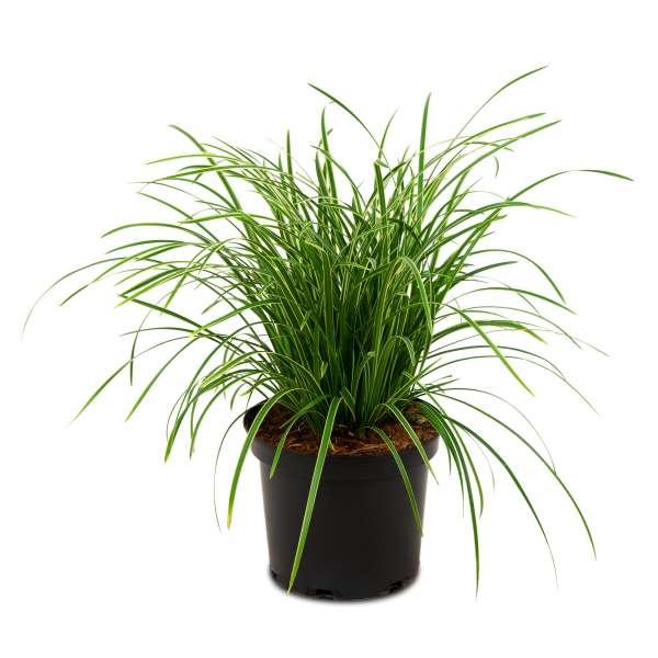 Japan-Segge-Carex-morrowii-Ice-Dance-01