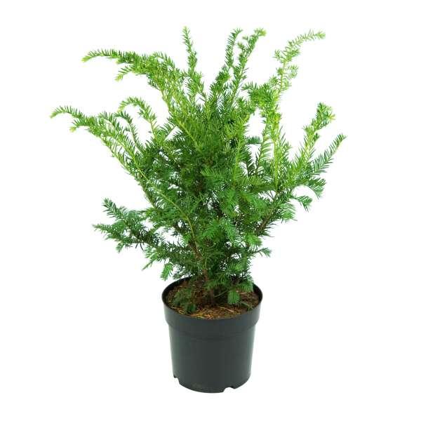 Taxus-media-Green-Mountain-C6_4-50-60