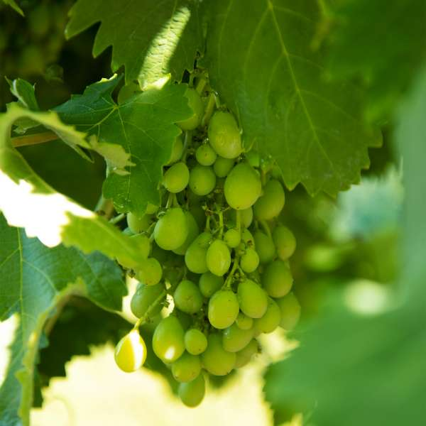 Weintraube-Vitis-vinifera-Romulus-01