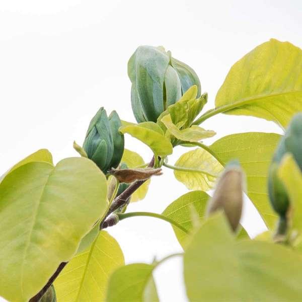 Gurken-Magnolie Blue Opal