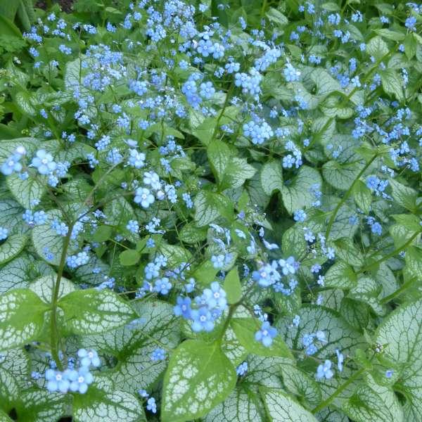 Vergissmeinicht-Brunnera-macrophylla-Jack-Frost-01