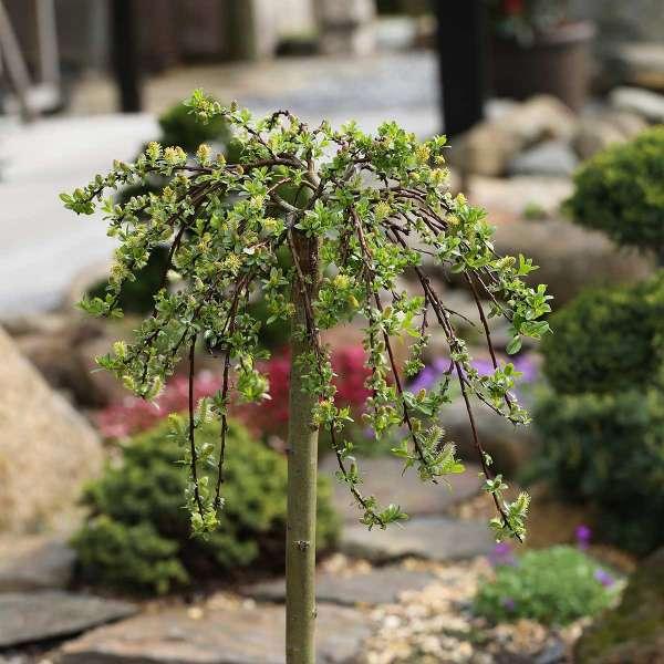 Teppichweide Salix simulatrix