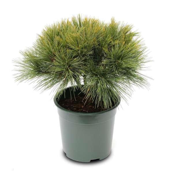 Pinus-strobus-Nana-Compacta-01