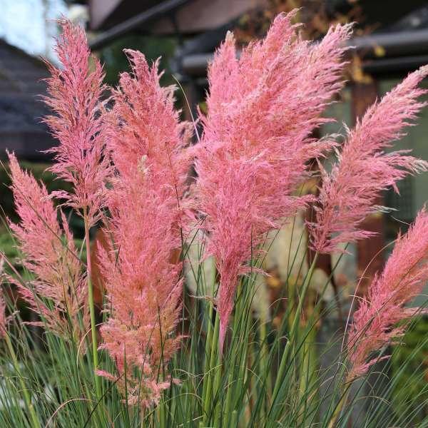 Pampasgras-Cortaderia-selloana-Pink-Feather-01