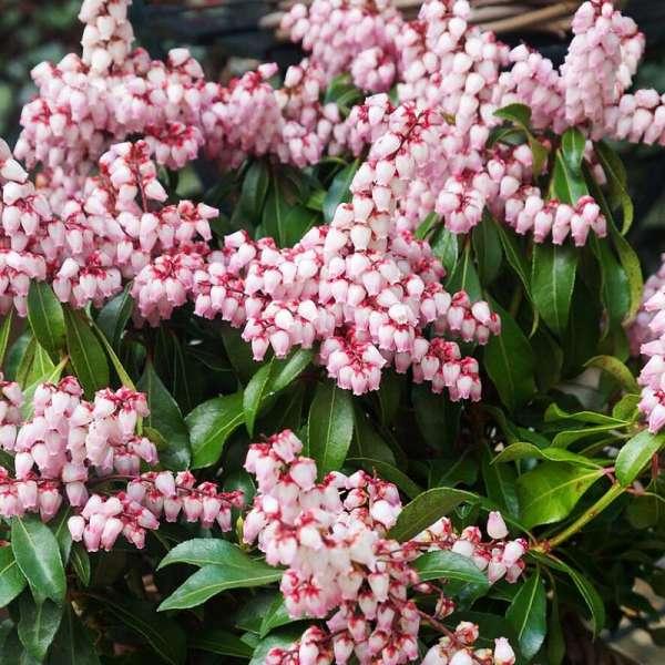 Japanische-Lavendelheide-Pieris-japonica-Pink-Passion-01