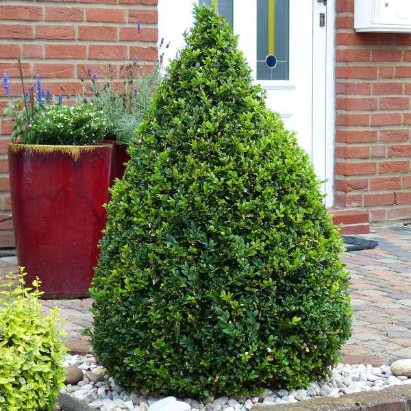 Buchsbaum-Buxus-sempervirens-Kegel