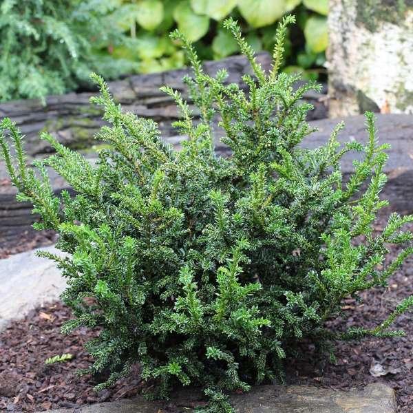 Zwerg-Eibe Taxus baccata Rushmore
