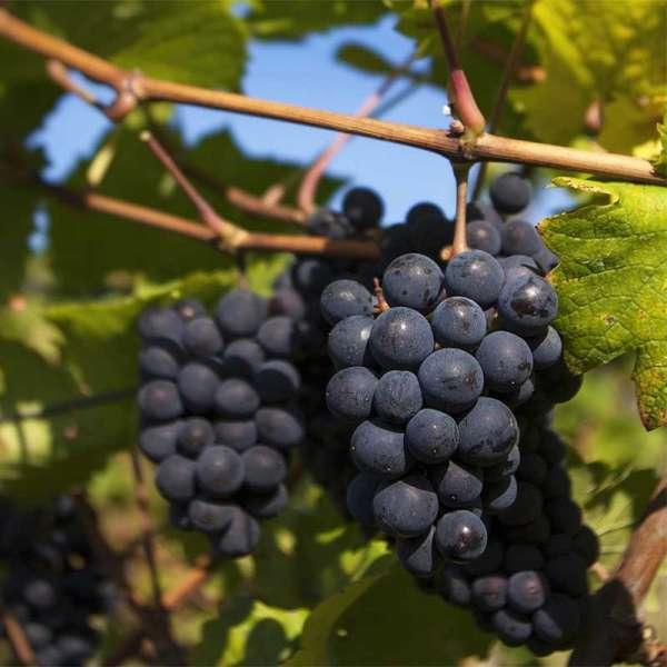 Blaue Weintraube Regent