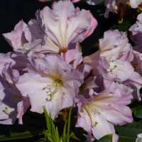 Rhododendron-INKARHO-Rosa-Dufthecke-02