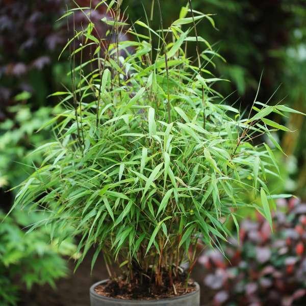 Bambus-Fargesia-scabrida-Asian-Wonder-01