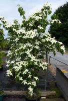 Japanischer Hartriegel White Fountain