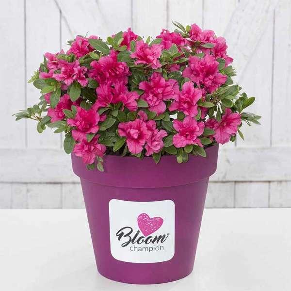 Azalee Bloom Champion Purple