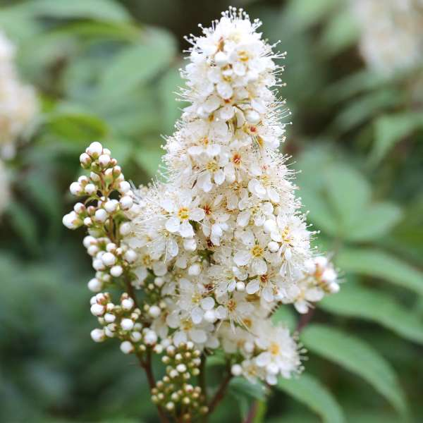 Fiederspiere-Sorbaria-sorbifolia-Sem-01