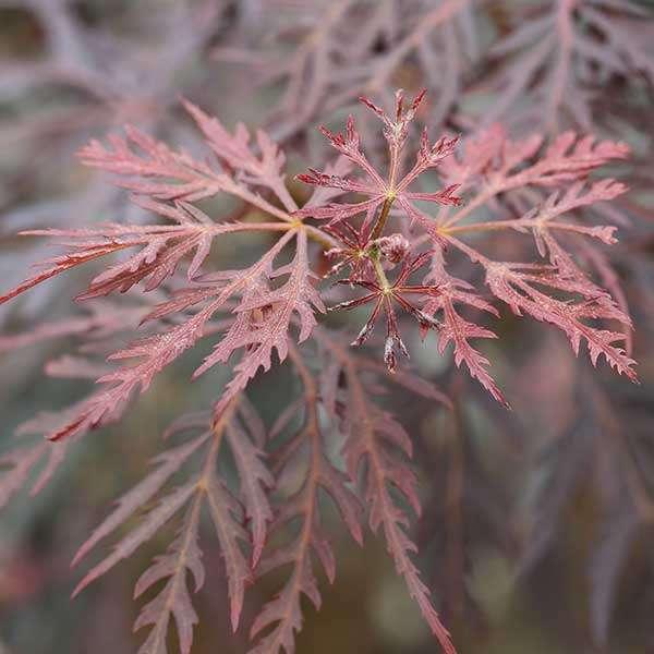 Roter Schlitzahorn Dissectum Tamukeyama