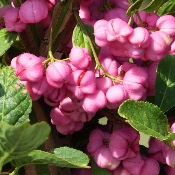 Spindelstrauch Blüten