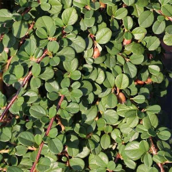 Kriechmispel Frieders Evergreen
