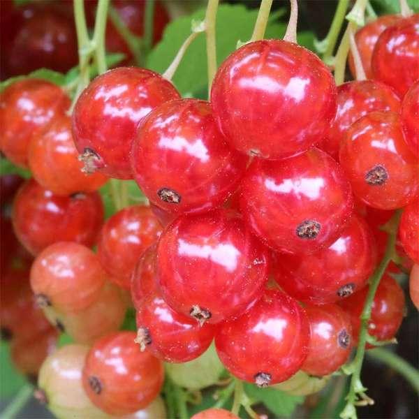 Rote Johannisbeere Junifer