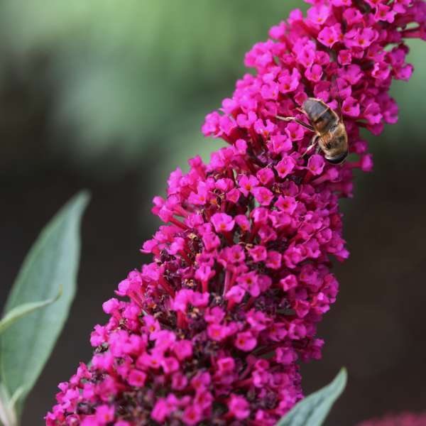 Sommerflieder-Buddleja-davidii-Royal-Red-01