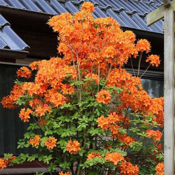 Sommergrüne Azalee Fireball