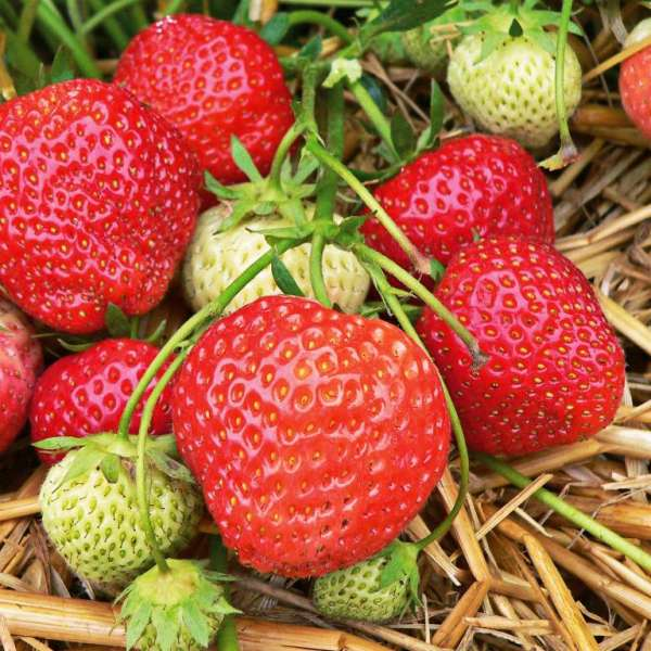 Erdbeere Fragaria 'Elsanta' ®
