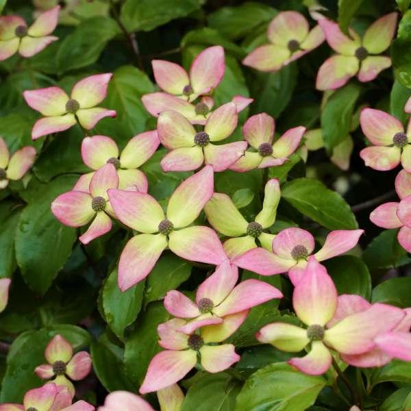 Blumen-Hartriegel Satomi Compact