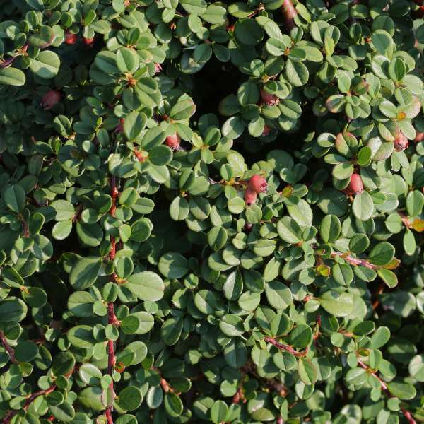 Cotoneaster-procumbens-Streib's-Findling-01