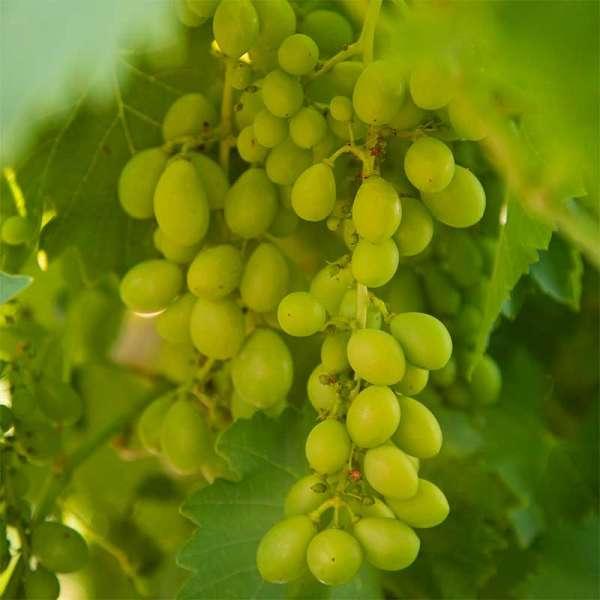 Gelbe Weintraube Himrod