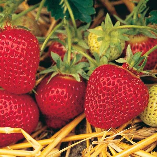 Erdbeere-Fragaria-Florence-Detail