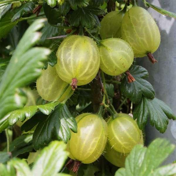 Stachelbeere Hinnonmäki grün