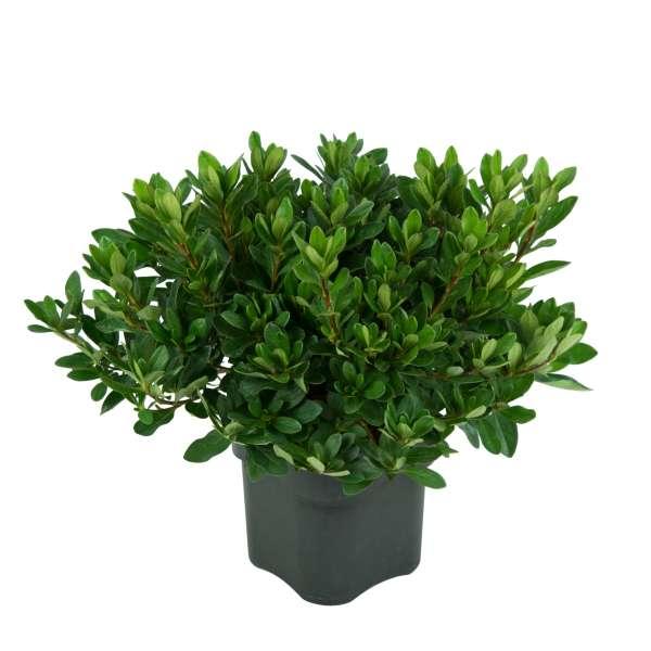 Azalee-Rhododendron-obtusum-Königstein-C2-20-25-02