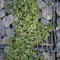 Kriechspindel Euonymus fortunei Emerald Gaiety 01
