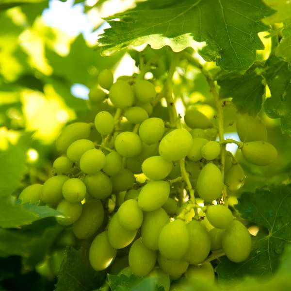 Weintraube-Vitis-vinifera-Phönix-01