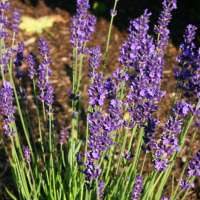 Lavendel-Lavandula-angustifolia-Hidcote-Blue-01
